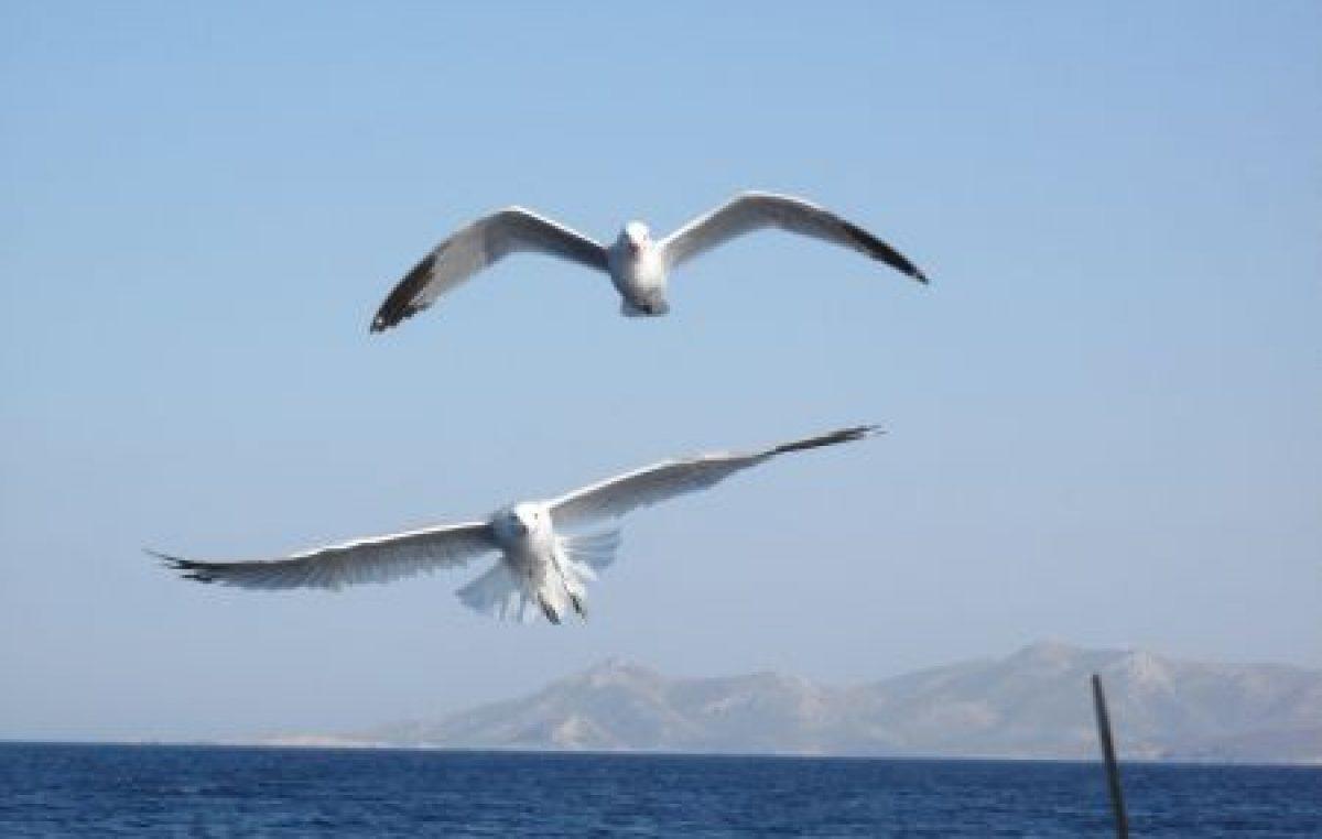 Τα Θαλασσοπούλια στις ελληνικές θάλασσες