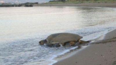 Άρχισε η ωοτοκία της θαλάσσιας χελώνας στη Ζάκυνθο.