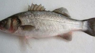Σεμινάριο «Τα άσπρα ψάρια του χειμώνα: Τεχνικές και μυστικά»