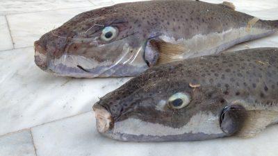 Λαγόψαρο απειλεί τα νερά του Αιγαίου
