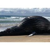 Κίνδυνος έκρηξης από κουφάρι φάλαινας 18 τόνων